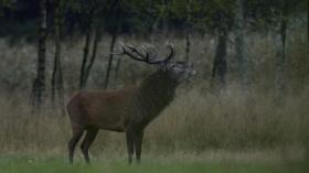 Tierfotografie: Hirsche in heimischen Gefilden