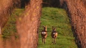 Tierfotografie: Rehe im Wonnegau