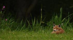 Wildnis vor der Haustür: Füchse fotografieren