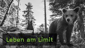Europäische Braunbären fotografieren