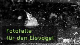 Eisvogel unter Wasser fotografieren